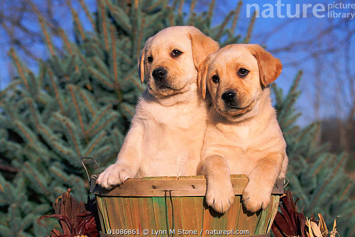 Golden Labrador retriever puppies {Canis familiaris} USA  ,  BABIES,CARNIVORES,CUTE,LABRADOR,LS,MAMMALS,PETS,PUPPIES,TWO,USA,NORTH AMERICA,DOGS,CANIDS  ,  Lynn M Stone