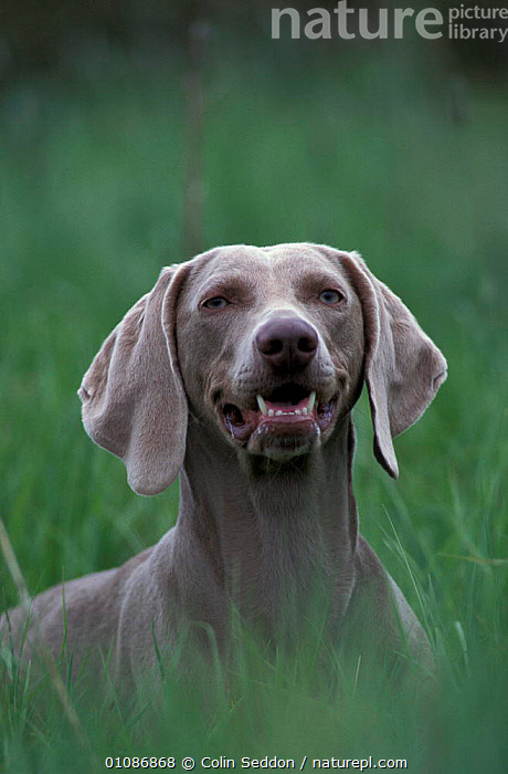 Weimaraner bitch head portrait {Canis familiaris}  ,  HEADS,PETS,MAMMALS,CANIDS,EUROPE,DOGS,FACES,PORTRAITS  ,  Colin Seddon