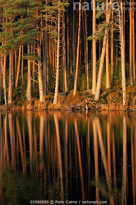 Pine trunks reflected in lake at dusk. Loch Mallachie, Strathspey, Scotland, UK  ,  ARTY SHOTS,DUSK,EUROPE,REFLECTIONS,SCOTLAND,TRUNKS,UK,VERTICAL,WATER,United Kingdom,British, United Kingdom  ,  Pete Cairns