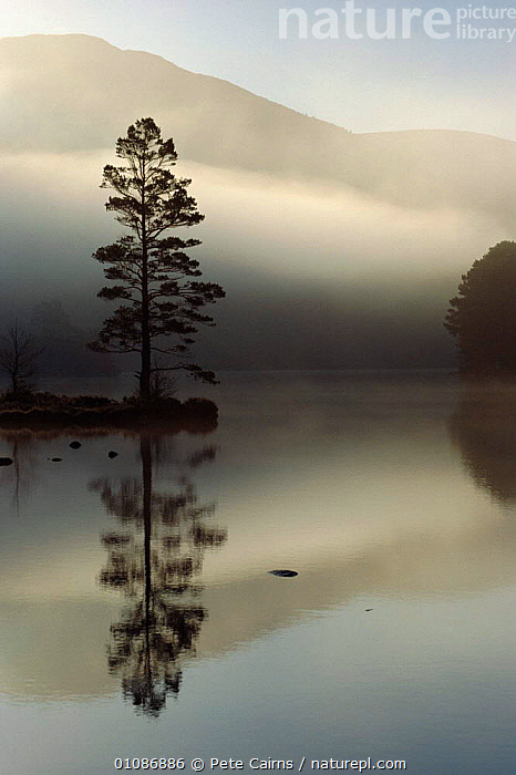 Scots pine tree reflected in lake at dawn. Loch an Eilean, Scotland, UK  ,  ARTY SHOTS,CONIFEROUS,DAWN,EUROPE,LAKE,LAKES,LOCH,PCA,PEACEFUL,PINE,REFLECTIONS,SCOTLAND,SUNRISE,TREES,UK,VERTICAL,UNITED KINGDOM,CONCEPTS,PLANTS,BRITISH, United Kingdom  ,  Pete Cairns