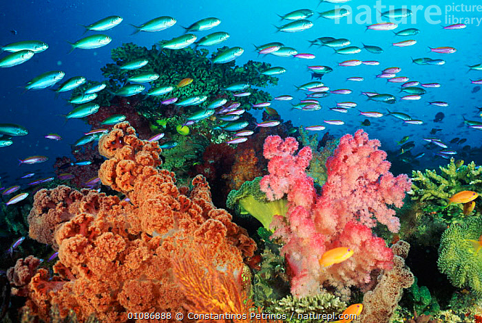 Coral landscape with soft corals and fish,  Fiji  ,  ANTHOZOANS,BIODIVERSITY,CNIDARIA,COLOURFUL,CORAL REEFS,CORALS,CPE,DIVERSITY,FIJI,FISH,GROUPS,HORIZONTAL,INVERTEBRATES,MARINE,PACIFIC,TROPICAL,UNDERWATER, Cnidaria  ,  Constantinos Petrinos