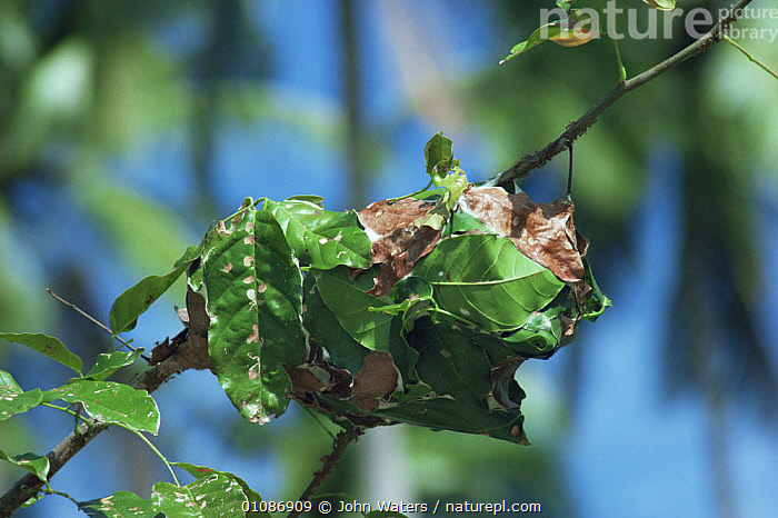 Weaver ant's nest made out of leaves {Oecophylla sp} Thailand  ,  ANTS,ARTHROPODS,HOMES,HYMENOPTERA,INSECTS,INTERESTING,INVERTEBRATES,LEAVES,NESTS,SOUTH EAST ASIA,Asia  ,  John Waters