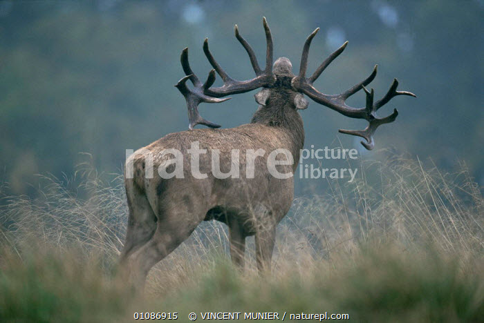 Red deer stag {Cervus elaphus} calling during rut season, Dyrehaven, Denmark  ,  ANTLERS,ARTIODACTYLA,CALLING,CERVIDS,DEER,DENMARK,DISPLAY,EUROPE,MALES,MAMMALS,RED,stag,VERTEBRATES,VOCALISATION,WOODLANDS,Scandinavia,Communication  ,  VINCENT MUNIER