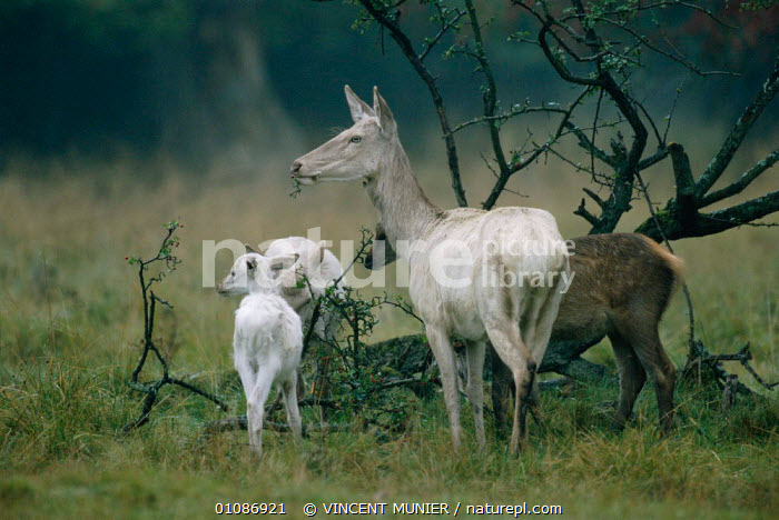 Red deer with white fur colour {Cervus elaphus} Dyrehaven, Denmark  ,  ALBINISM,ALBINO,ARTIODACTYLA,BABIES,DIMORPHISM,COLOUR,DEER,EUROPE,FAMILIES,FEMALES,HORIZONTAL,MAMMALS,MORPHISM,VARIATION,VMU,WHITE,YOUNG  ,  VINCENT MUNIER
