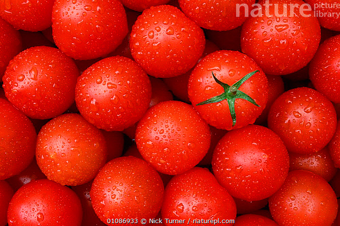 Tomatoes {Lycopersicon esculentum}  ,  CROPS,EDIBLE,EUROPE,FRUIT,GROUPS,HORIZONTAL,PATTERNS,PLANTS,RED,VEGETABLES  ,  Nick Turner