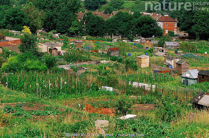Urban allotment gardens, Bristol, UK  ,  ALLOTMENTS,BRITISH,BUIDINGS,CITIES,CROPS,CULTIVATION,EUROPE,GARDENING,GARDENS,HORIZONTAL,NTU,PLANTS,SUMMER,UK,UNITED KINGDOM,URBAN,VEGETABLE,VEGETABLES  ,  Nick Turner