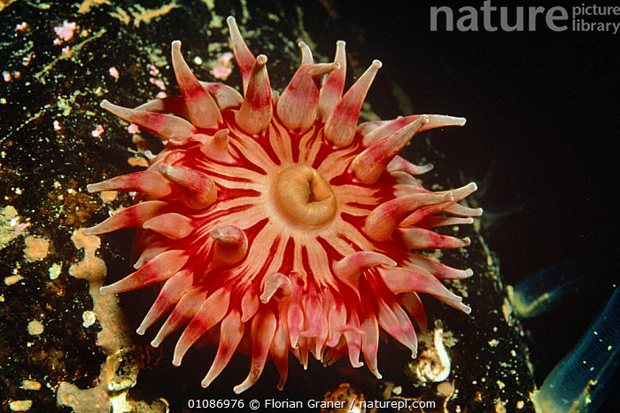 Dahlia anemone tentacles open (Tealia felina) Josenfjord, Norway  ,  ANTHOZOANS,ATLANTIC OCEAN,CNIDARIANS,COASTAL WATERS,COLOUR CHANGES,EUROPE,INVERTEBRATES,MARINE,NORWAY,PINK,SEA ANEMONES,UNDERWATER,Scandinavia  ,  Florian Graner