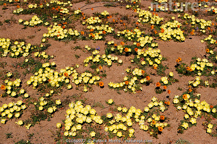 Karoo desert in bloom after rains. Nieuwoudtville, Namaqualand, South Africa  ,  BLOOM,DESERT,DESERTS,FLOWERS,HORIZONTAL,KAROO,NAMAQUALAND,PLANTS,PMO,SOUTHERN AFRICA,WET SEASON,WILD AFRICA,YELLOW  ,  Patrick Morris
