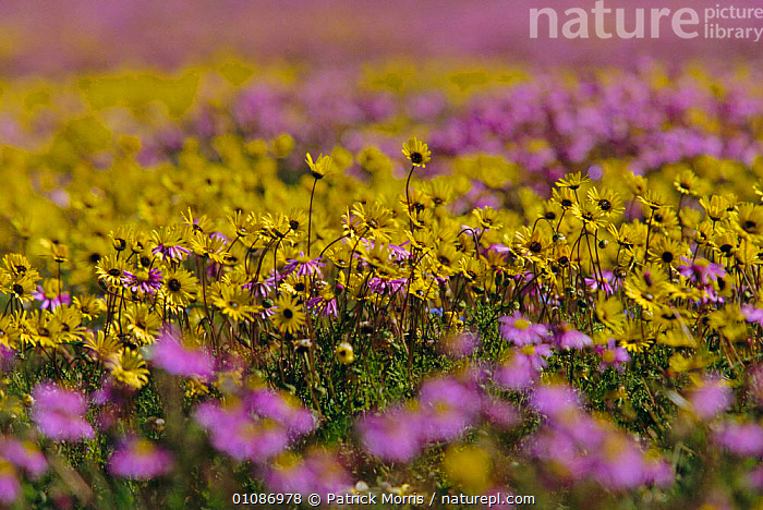 Daisies {Asteraceae} in bloom after rains. Nieuwoudtville, Namaqualand, South Africa  ,  ASTERACEAE,COLOURFUL,DESERTS,FLOWERS,KAROO,LANDSCAPES,MIXED SPECIES,PLANTS,RAINS,SOUTHERN AFRICA,WET SEASON,WILDAFRICA  ,  Patrick Morris