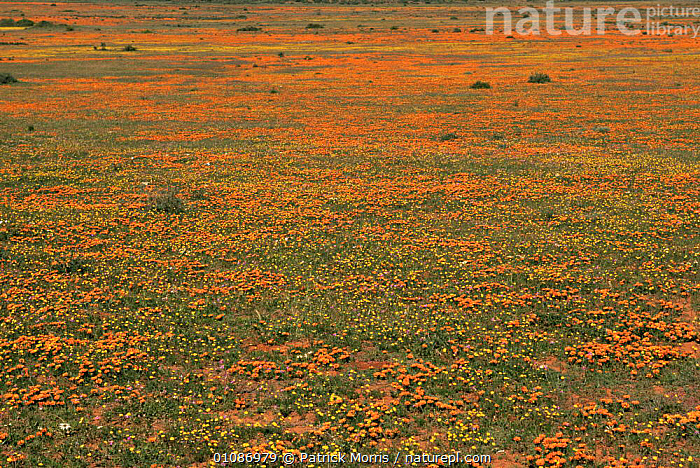 {Gazania} plants in bloom after rains. Nieuwoudtville, Karoo desert, Namaqualand, South Africa  ,  AFRICA,DESERTS,FLOWERS,LANDSCAPES,PLANTS,SOUTHERN AFRICA,WET SEASON  ,  Patrick Morris