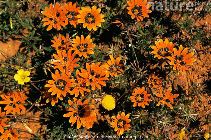 {Gazania} flowers in bloom after rains. Nieuwoudtville, Karoo desert, Namaqualand, South Africa  ,  AFRICA,DESERTS,FLOWERS,HORIZONTAL,PLANTS,SOUTHERN AFRICA,WET SEASON  ,  Patrick Morris