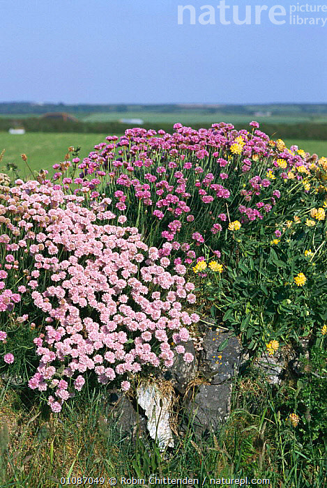 Stone wall / Hedgerow with Thrift {Armeria maritima} + Kidney vetch {Anthyllis vulneraria} Cornwall UK  ,  BRITISH,EUROPE,FLOWERING,FLOWERS,HEDGEROWS,MIXED SPECIES,PLANTS,RC,STONE,UK,UNITED KINGDOM,VERTICAL,WALL,ENGLAND  ,  Robin Chittenden
