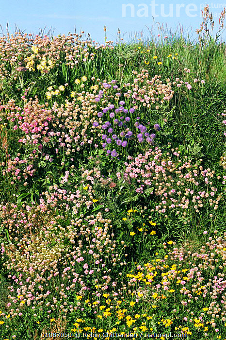 Grassy bank with flowering Thrift {Armeria maritima} and Kidney vetch {Anthyllis vulneraria} Cornwall, UK  ,  ENGLAND,EUROPE,FLOWERS,MIXED SPECIES,PLANTS,UK,VERTICAL,United Kingdom,British  ,  Robin Chittenden