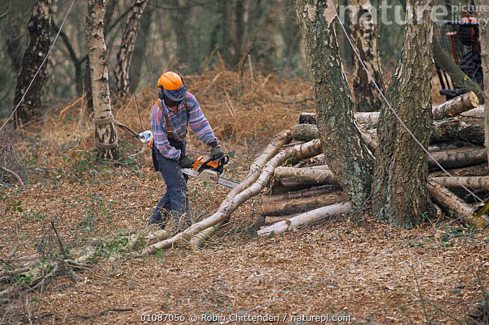 Wood and scrub clearance to conserve woodland. Norfolk, UK  ,  BRANCHES,CONSERVATION,ENGLAND,EUROPE,FORESTRY,MACHINERY,PEOPLE,UK,WOODLANDS,United Kingdom,British  ,  Robin Chittenden