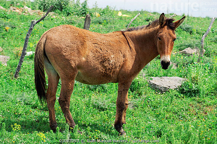 Mule - offspring of male donkey and female horse -  Spain  ,  BREED,DOMESTIC,EUROPE,FEMALE,HORIZONTAL,HYBRID,JMB,LIVESTOCK,MAMMALS,SPAIN,EQUINES  ,  Juan Manuel Borrero