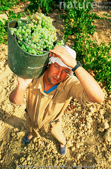 Man harvesting grapes, Catalonia, Spain  ,  CROPS,EUROPE,FRUIT,PEOPLE,SPAIN,VERTICAL,vines,vineyard,Plants  ,  Juan Manuel Borrero