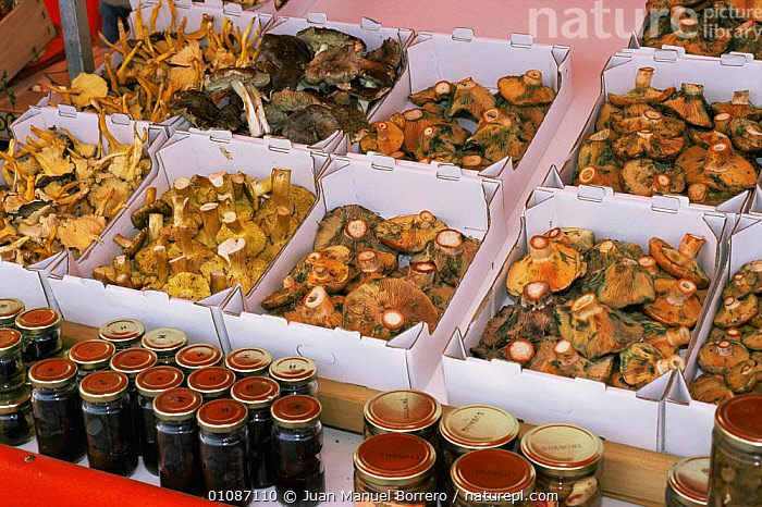 Mushrooms for sale in market, Catalonia, Spain. Lactarius deliciosus and other species  ,  EDIBLE,EUROPE,FUNGI,FUNGUS,SPAIN,TRADE,VEGETABLES  ,  Juan Manuel Borrero