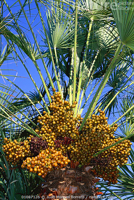 Dwarf fan palm fruit {Chamaerops humilis}  Spain  ,  DATES,EUROPE,FRUIT,JMB,PLANTS,SPAIN,TREES,VERTICAL  ,  Juan Manuel Borrero