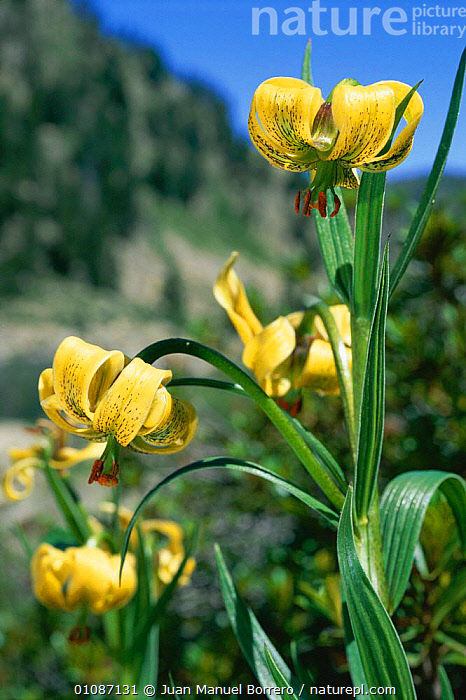 Yellow turk's-cap lily {Lilium pyrenaicum} in flower Pyrenees, Catalonia, Spain  ,  35,BORRERO,CATALONIA,EUROPE,FLOWERS,HIGHLANDS,JMB,JUAN,MANUEL,PLANTS,PYRENAICUM,PYRENEES,SPAIN,VERTICAL  ,  Juan Manuel Borrero