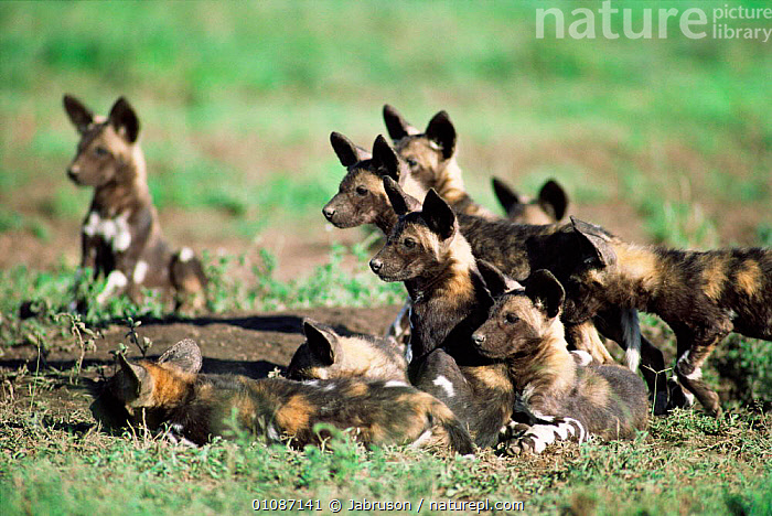 Cape Hunting dog puppies {Lycaon pictus} Serengeti National Park, Tanzania  ,  JUVENILE,HEADS,EARS,AFRICA,EAST AFRICA,CANIDS,FACES,CARNIVORES,GROUPS,ALERT,DOGS,EAST,NP,MAMMALS,YOUNG,National Park , Bruce Davidson,,Serengeti National Park, UNESCO World Heritage Site,  ,  Jabruson