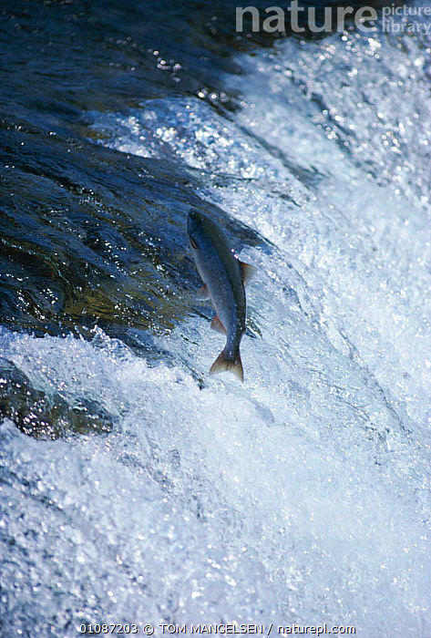 Sockeye salmon leaping up waterfall {Oncorhynchus nerka} Alaska USA  ,  ACTION,FISH,JUMPING,MATING BEHAVIOUR,MIGRATION,OSTEICHTHYES,RIVERS,SPAWNING,VERTICAL,WATER,WATERFALLS,Reproduction  ,  TOM MANGELSEN