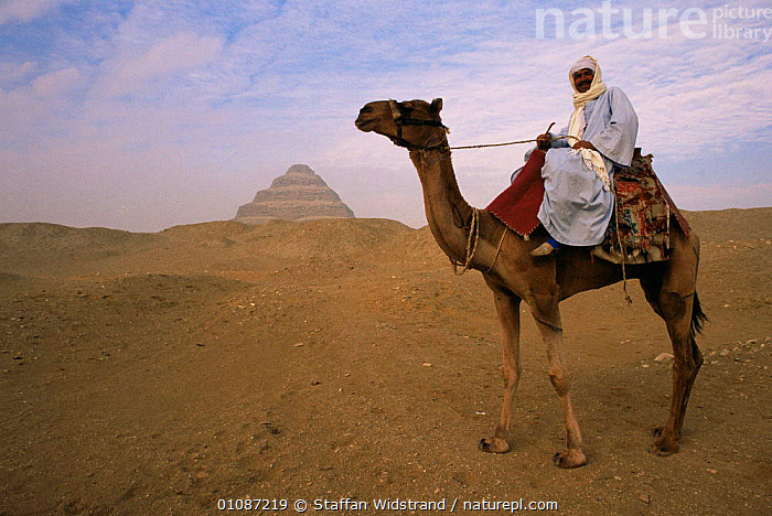 Bedouin camel rider in front of Pyramid of Djoser, Egypt, North Africa  ,  AFRICA,ANCIENT,ATTRACTION,CAMELS,DESERTS,DOMESTIC,EGYPTIAN,LANDMARK,MAMMALS,NORTH AFRICA,OLD,PEOPLE,TOURISM,TRADITIONAL,TRIBES,NORTH-AFRICA  ,  Staffan Widstrand