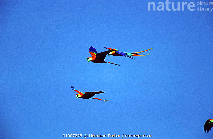 Scarlet macaws in flight {Ara macao} South America  ,  BIRDS,COLOURFUL,FLIGHT,FLYING,GROUPS,MACAWS,PARROTS,SOUTH AMERICA,THREE,VERTEBRATES  ,  Hermann Brehm