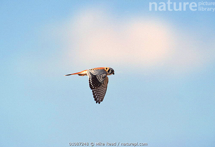 American kestrel male hovering {Falco sparverius}. Bosque del Apache, NM, USA.  ,  FLYING,BIRDS,FALCONS,VERTICAL,BIRDS OF PREY,RESERVE,BOSQ,USA,PROFILES,North America  ,  Mike Read