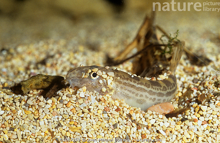 Spined loach {Cobitis paludica} captive, from Delta del Ebro NP, Catalonia, Spain  ,  EUROPE,FISH,LOACH,MARINE,MEDITERRANEAN,NP,OSTEICHTHYES,RESERVE,SEABED,SPAIN,TEMPERATE,UNDERWATER,VERTEBRATES,National Park  ,  Juan Manuel Borrero