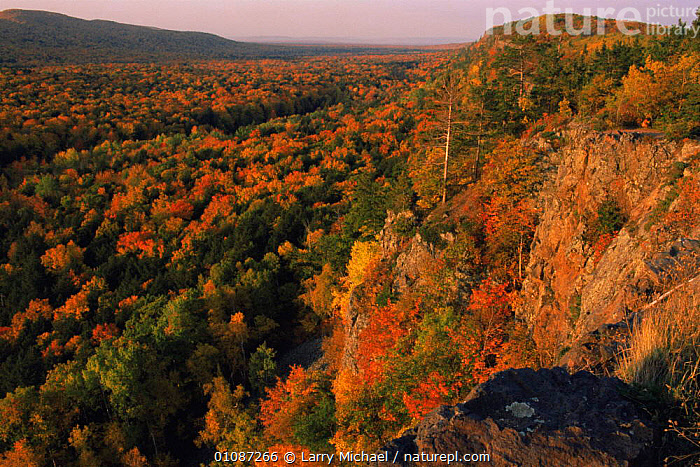 Looking out over Maple forest canopy in autumn colours, Michigan, USA  ,  AERIALS,AUTUMN,BROADLEAF,CANOPY,FORESTS,LANDSCAPES,mixed wood,NORTH AMERICA,PLANTS,TREES,USA,WOODLANDS  ,  Larry Michael