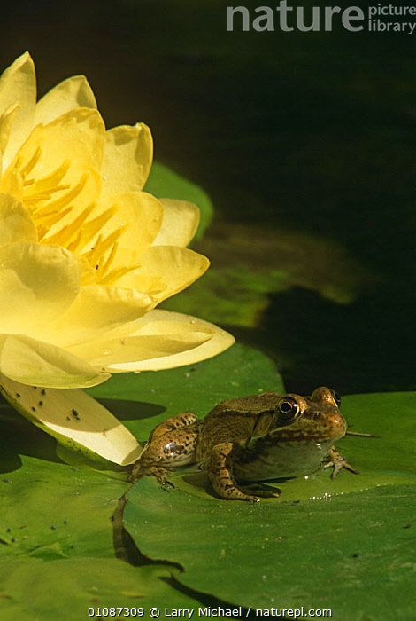 Green frog {Rana clamitans} on lilypad with waterlily flower, USA  ,  AMPHIBIANS, Anura, AQUATIC, USA, VERTEBRATES, VERTICAL, FLOWERS, FROGS, LEAVES, north america, PLANTS, WETLANDS, YELLOW  ,  Larry Michael