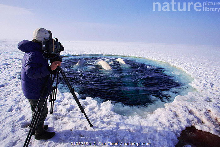 Cameraman Doug Allan films Beluga whales surfacing to breathe at ice hole {Delphinapterus leucas} Canadian arctic. On location for Blue Planet, 1999  ,  ALLAN,ARCTIC,BELUGA,BLUE PLANET,CAMERAMAN,CETACEANS,HOLE,HORIZONTAL,ICE,MAMMALS,PEOPLE,SF  ,  Sue Flood