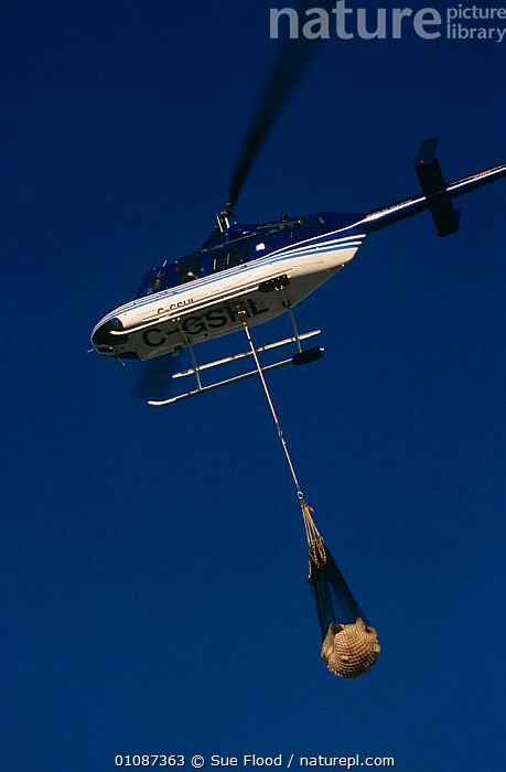Tranquillised Polar bear {Ursus maritimus} being transported by helicopter, Churchill, Manitoba, Canada  ,  ARCTIC,BEARS,CANADA,CARNIVORES,FLYING,MAMMALS,NORTH AMERICA,POLAR,RESEARCH,VEHICLES,VERTEBRATES,VERTICAL  ,  Sue Flood