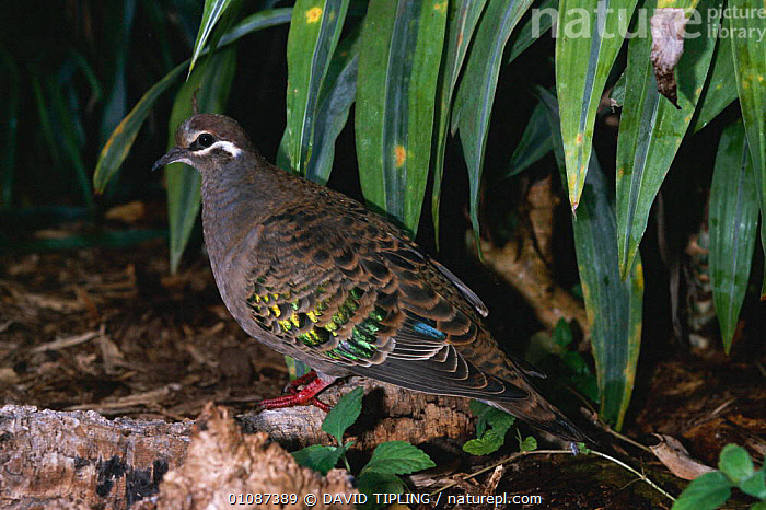 Bronzed winged pigeon {Phaps chalcoptera} native to Australia  ,  AUSTRALIA,BIRD,BIRDS,CAPTIVE,DTI,HORIZONTAL,ONE,PIGEONS  ,  DAVID TIPLING
