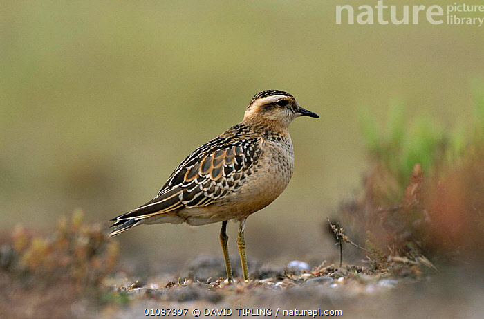 Dotterel juvenile {Eudromias morinellus} Blakeney Point, Norfolk, UK  ,  BIRDS,BRITISH,DTI,ENGLAND,EUROPE,HORIZONTAL,JUVENILE,NORFOLK,PLOVERS,UK,UNITED KINGDOM,WADERS, Waders  ,  DAVID TIPLING