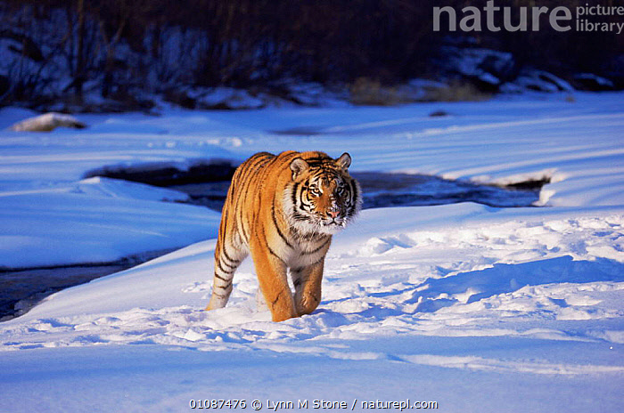 Siberian tiger {Pathera tigris altaica} walking in snow, Captive  ,  BIG CATS,CARNIVORES,CATS,ENDANGERED,MAMMALS,RUSSIA,SNOW,TIGERS,WINTER  ,  Lynn M Stone