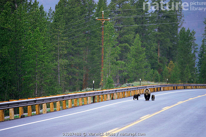 Grizzly bear mother and cubs walking along road {Ursus arctos horribilis} Wyoming, USA  ,  BEARS,CARNIVORES,FAMILIES,MAMMALS,RESERVE,ROADS,USA,VERTEBRATES,North America  ,  Warwick Sloss