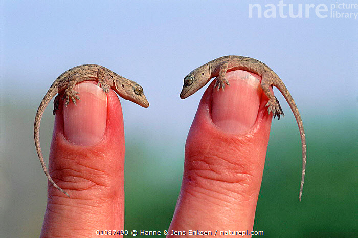Two tiny Yellow bellied house geckos on fingers {Hemidactylus flaviviridis} Muscat Oman Middle East  ,  GECKOS,AMUSING,ARABIA,CUTE,FINGERS,HJE,HORIZONTAL,JENS,LIZARDS,PEOPLE,REPTILES,SCALE,SIZE,SMALL,TINY,TWO, Geckos  ,  Hanne & Jens Eriksen