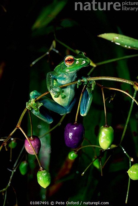Tree frog hanging on to twig {Boophis luteus} Marojey National Park, Madagascar.  ,  PLANTS,FRUITS,FUN,HAVING,FROGS,AMPHIBIANS,COLOURFUL,MADAGASCAR,VERTICAL,PERSON,PORTRAITS,Anura , treefrog,Catalogue1  ,  Pete Oxford