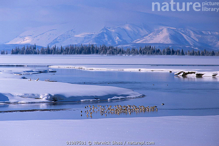American avocets {Recurvirostra americana} during winter, Pelican creek, Yellowstone NP, Wyoming, USA.  ,  AVOCETS,BIRDS,COLD,GROUPS,HORIZONTAL,LANDSCAPES,NP,RIVERS,SNOW,USA,VERTEBRATES,WADERS,WINTER,North America,National Park  ,  Warwick Sloss
