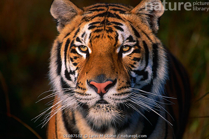 Bengal tiger {Panthera tigris tigris} captive  ,  BIG CATS,CARNIVORES,CATS,ENDANGERED,FACES,INDIAN SUBCONTINENT,MAMMALS,PORTRAITS,TIGERS,Asia  ,  Lynn M Stone