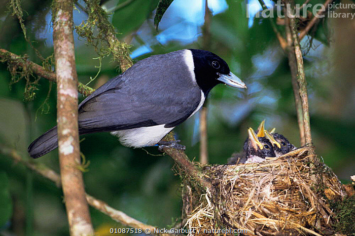 Female Pollen's Vanga feeding chicks {Xenopirostris polleni} Ranomafana NP, SE Madagascar  ,  BIRDS,FEMALES,MADAGASCAR,NESTS,PASSERINES,VANGAS,VERTEBRATES  ,  Nick Garbutt