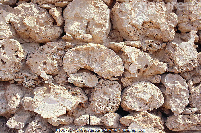 Fossil coral building blocks used in Soakin, Sudan Democratic Republic, N Africa  ,  AFRICA,BUILDING,BUILDINGS,CORAL,GD,GEOLOGY,HORIZONTAL,NORTH AFRICA,ROCK FORMATIONS,ROCKS,SUDAN,TRADITIONAL,WALL,WALLS  ,  Georgette Douwma