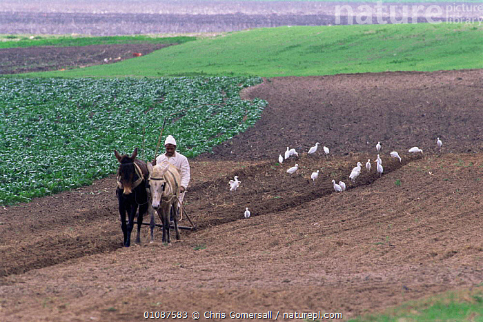 Farmer tilling land with Mules, followed by Cattle egrets looking for insects, Merja Zerga, Morocco  ,  AFRICA,AGRICULTURE,BIRDS,DOMESTIC,DONKEYS,FARMING,FARMLAND,GROUPS,LANDSCAPES,MACHINERY,NORTH AFRICA,PEOPLE,TRADITIONAL,WORKING,NORTH-AFRICA  ,  Chris Gomersall