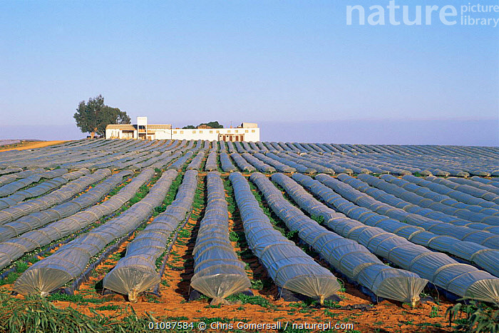 Strawberry farm with plants growing under plastic cloches, Merja Zerga, Morocco, North Africa  ,  AFRICA,AGRICULTURE,BUILDINGS,CROPS,EDIBLE,FARMING,FARMLAND,FIELDS,FRUIT,LANDSCAPES,MONOCULTURE,NORTH AFRICA,PLANTS,NORTH-AFRICA  ,  Chris Gomersall