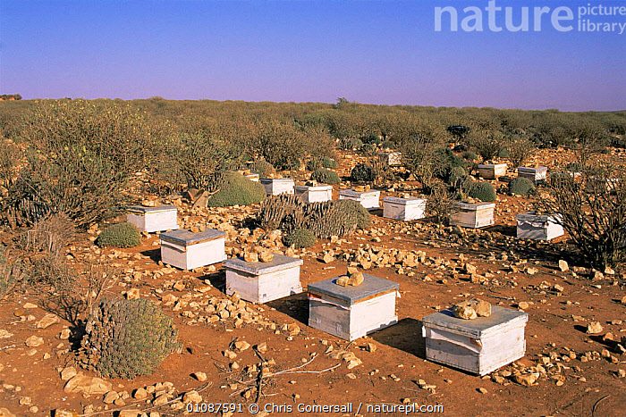 Beehives amongst {Euphorbia} on steppe, Souss-Massa NP, Morocco, North Africa  ,  AFRICA,AGRICULTURE,BEEHIVES,BEEKEEPING,FARMING,HIVES,HOMES,HONEY,INSECTS,LANDSCAPES,NORTH AFRICA,NP,RESERVE,SCRUBLAND,STEPPE,Grassland,Invertebrates,National Park,NORTH-AFRICA  ,  Chris Gomersall