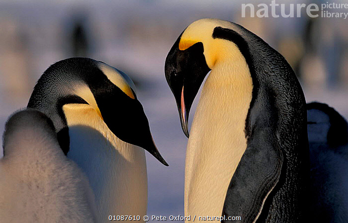 Emperor penguins courtship {Aptenodytes forsteri} Antarctica Auster EP Rookery  ,  MALE FEMALE PAIR,ANTARCTIC,FAMILIES,BIRDS,MATING BEHAVIOUR,FLIGHTLESS,AUSTRALIAN,REPRODUCTION,PENGUINS,SEABIRDS, Seabirds  ,  Pete Oxford