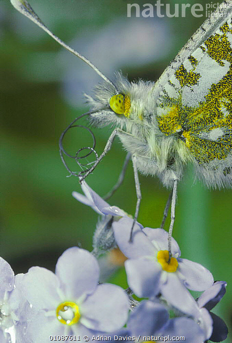 Orange tip butterfly female {Anthocharis cardamines} close up on Lady's smock flower, UK  ,  FEEDING,PLANTS,INSECTS,LEPIDOPTERA,ENGLAND,EUROPE,BUTTERFLIES,HEADS,PROBOSCIS,FLOWERS,FEMALES,SPRING,Invertebrates  ,  Adrian Davies