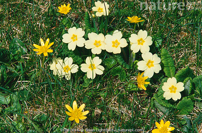 Common primrose {Primula vulgaris} and Lesser celandine {Ranunculus ficaria} flowers, Spring, Scotland UK  ,  BL,BRITISH,CELANDINE,EUROPE,FLOWERS,HORIZONTAL,LESSER,LIGHTFOOT,MIXED SPECIES,SCOTLAND,SPRING,UK,UNITED KINGDOM,YELLOW  ,  Brian Lightfoot