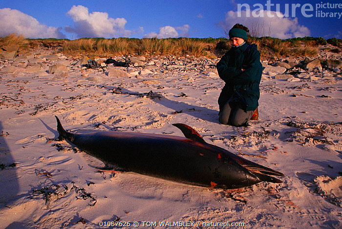 Striped dolphin {Stenella coeruleoalba} killed by fishing trawlers and washed up on beach. Scilly Isles, UK  ,  35,BEACH,BEACHES,BRITISH,CETACEANS,CORNWALL,DEAD,DEATH,DOLPHINS,ENGLAND,EUROPE,FISHING,HORIZONTAL,ISLES,KILLED,MAMMALS,PEOPLE,SCILLY,TOM,TRAWLERS,TW,UK,UNITED KINGDOM,UP,WALMSLEY,WASHED, Mammals  ,  TOM WALMSLEY